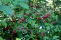 Малина Rubus frut. Thornless Evergreen обхват ствола 40