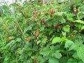 Малина Rubus idaeus Fallgold обхват ствола 40