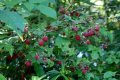 Малина Rubus idaeus Ottawa обхват ствола 40