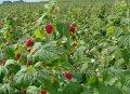 Малина Rubus phoenicolasius обхват ствола 40