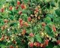 Малина Rubus Tayberry обхват ствола 40