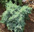 Можжевельник Juniperus chin. Blue Alps обхват ствола 20-30