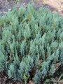 Можжевельник Juniperus chin. Stricta обхват ствола 10-15