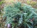 Можжевельник Juniperus chin. Stricta обхват ствола 20-30