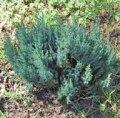 Можжевельник Juniperus comm. Arnold обхват ствола 20-30