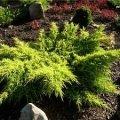 Можжевельник Juniperus comm. Gold Cone обхват ствола 20-30
