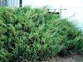 Можжевельник Juniperus comm. Green Carpet обхват ствола 40-60