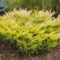 Можжевельник Juniperus conferta All Gold обхват ствола 20-30