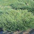 Можжевельник Juniperus conferta Schlager обхват ствола 20-30
