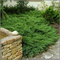 Можжевельник Juniperus hor. Blue Chip обхват ствола 20-30