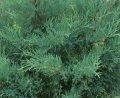 Можжевельник Juniperus hor. Lime Glow обхват ствола 30-40