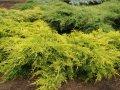 Можжевельник Juniperus pfitzeriana King of Sprig обхват ствола 20-30