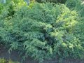 Можжевельник Juniperus procumbens Nana обхват ствола 60-80