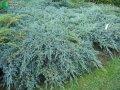 Можжевельник Juniperus squam. Blue Star обхват ствола 20-30