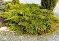Можжевельник Juniperus squam. Meyeri обхват ствола 20-30