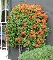 Пираканта Pyracantha Orange Glow обхват ствола 40
