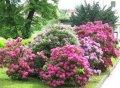 Рододендрон Rhododendron  T  Gomer Waterer обхват ствола 30-40