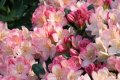 Рододендрон Rhododendron  T  Red Jack обхват ствола 30-40