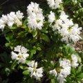 Рододендрон Rhododendron  Y  Carol. Allbrook обхват ствола 20-30