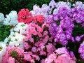 Рододендрон Rhododendron  Y  Kalinka обхват ствола 20-30