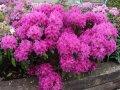 Рододендрон Rhododendron  Y  Silberwolke обхват ствола 20-30