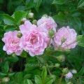 Роза Rosa Rosarium U. обхват ствола 150KM