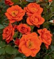 Роза Rosa Topolina - bílá обхват ствола 40KM
