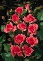 Роза Rosa Topolina - růžová обхват ствола 40KM