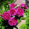 Роза Rosa Topolina - žlutá обхват ствола 40KM