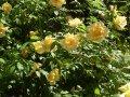 Роза Rosa Yellow Fairy обхват ствола 15-20
