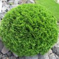 Туя Thuja occidentalis  White Smaragd обхват ствола 20-30