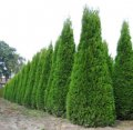 Туя Thuja occidentalis  Yellow Ribbon обхват ствола 20-30