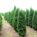 Туя Thuja occidentalis  Zmatlik обхват ствола 20-30