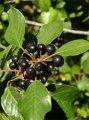Крушина Rhamnus frangula Asplenifolium