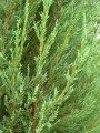 Можжевельник Виргинский Blue Arrow Juniperus Virginians Blue Arrow