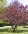Вишня Prunus cerasifera Nigra  обхват ствола   150-175