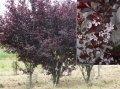 Вишня Prunus cerasifera Nigra  обхват ствола   100KM