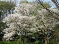 Вишня Prunus avium  обхват ствола   14-16