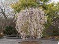Вишня Prunus Snow Fountains  обхват ствола   14-16