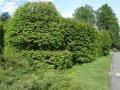 Граб Carpinus betulus Pendula  обхват ствола   18-20