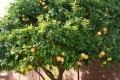 Груша Pyrus salicifolia Pendula  обхват ствола   10-12