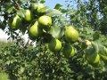 Груша Pyrus salicifolia Pendula  обхват ствола   12-14