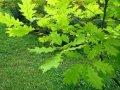 Дуб Quercus frainetto  обхват ствола   12-14
