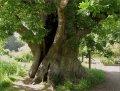 Дуб Quercus petraea  обхват ствола   16-18