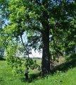 Дуб Quercus petraea  обхват ствола   20-25