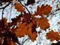 Дуб Quercus robur Fastig. Koster  обхват ствола   14-16