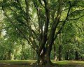 Дуб Quercus robur Fastigiata Purpurea  обхват ствола   300-350