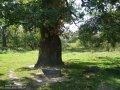 Дуб Quercus robur Pendula  обхват ствола   12-14