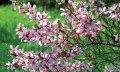 Prunus triloba almonds grasp of a trunk 100KM