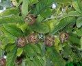 Мушмула Mespilus germanica Westerveld  обхват ствола   20-25